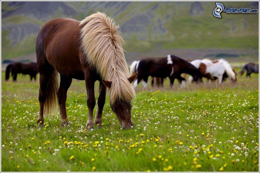 barna ló, lovak, rét, sárga virágok, fehér virágok, fű