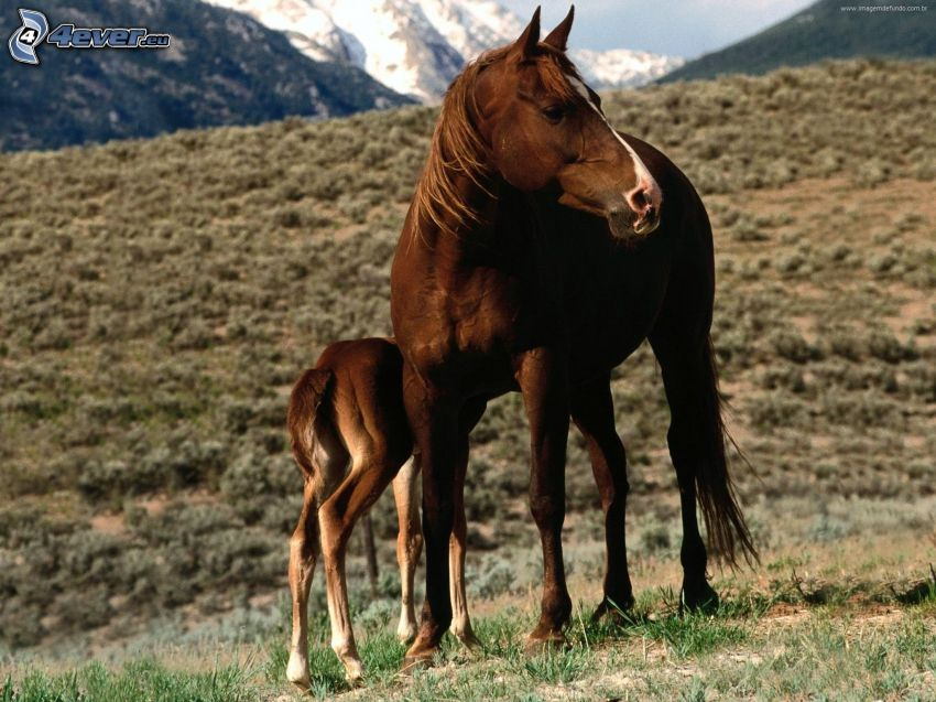 barna lovak, csikó, dombok