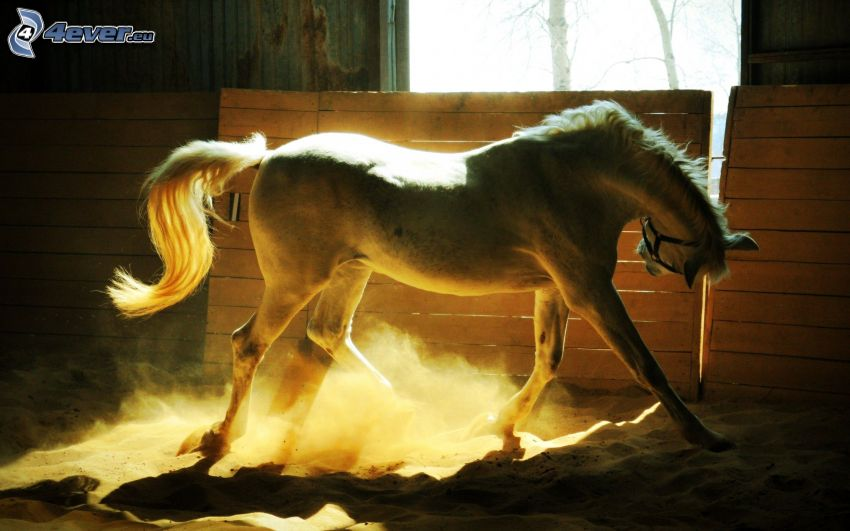 fehér ló, istálló, por