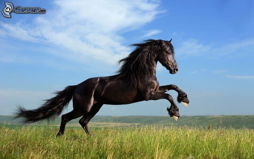 fekete ló, rét