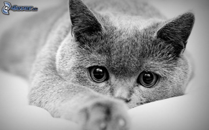 brit macska, fekete-fehér kép, macskatekintet