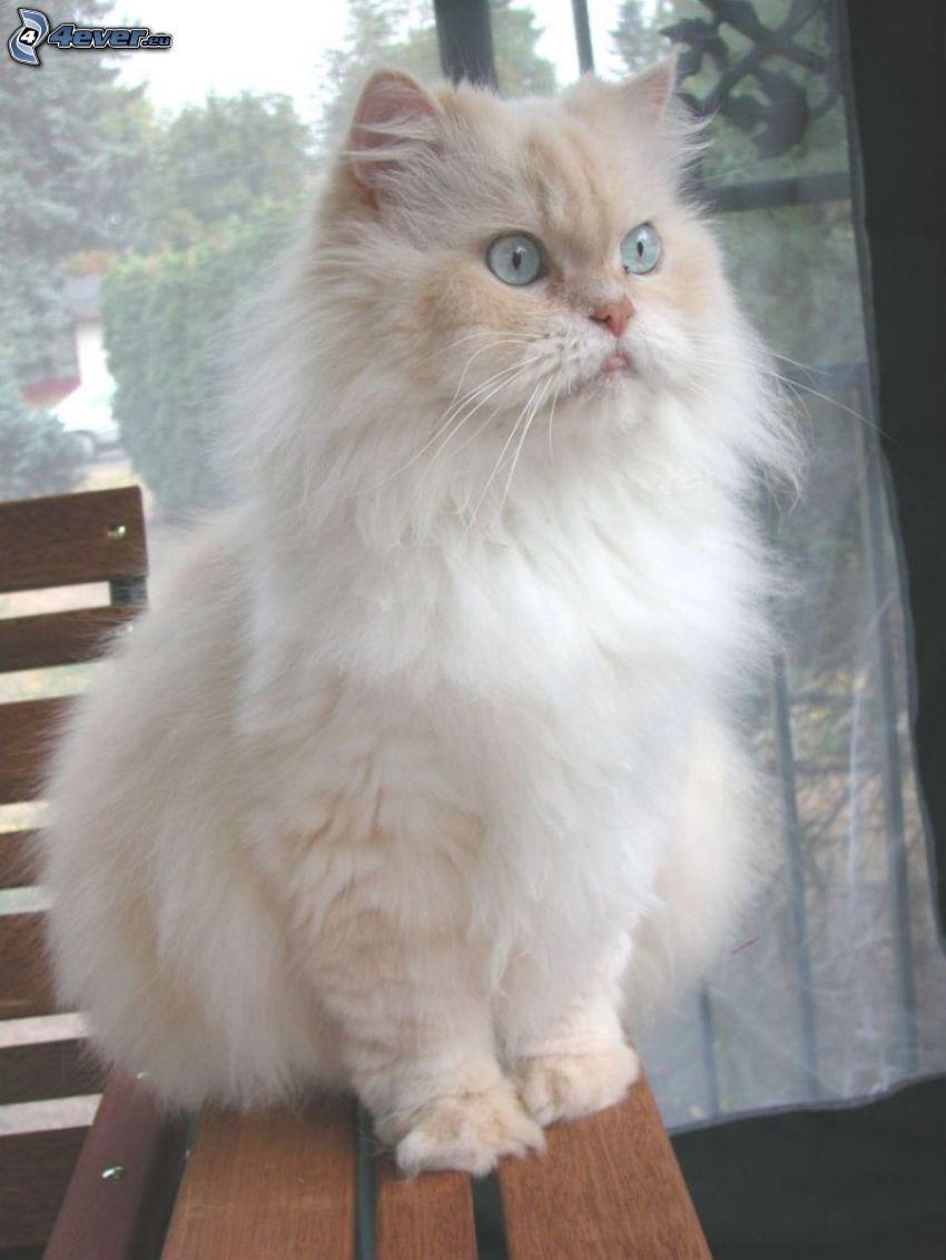 perzsa macska, fehér macska