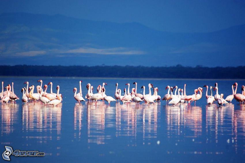 flamingók, Nakuru, tó
