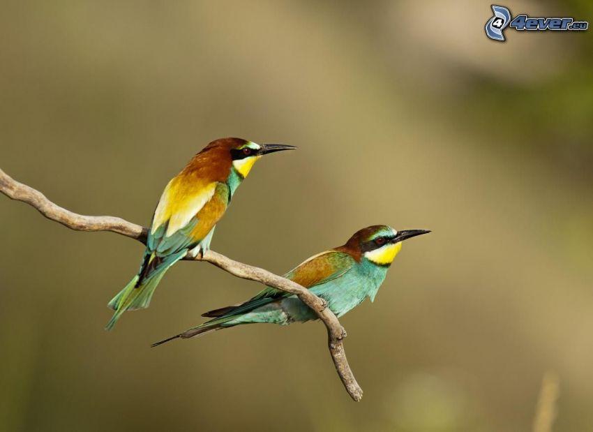 Gyurgyalag, madár az ágon