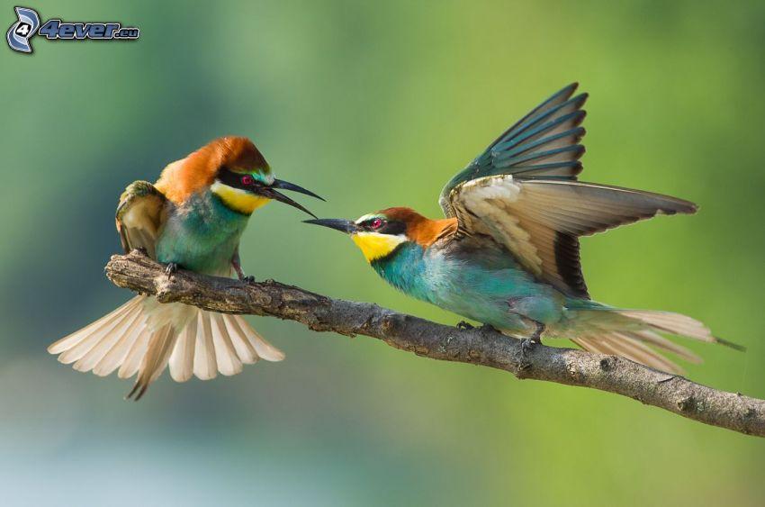 Gyurgyalag, madarak az ágon