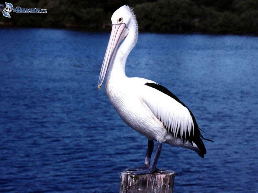 pelikán, fatönk, víz