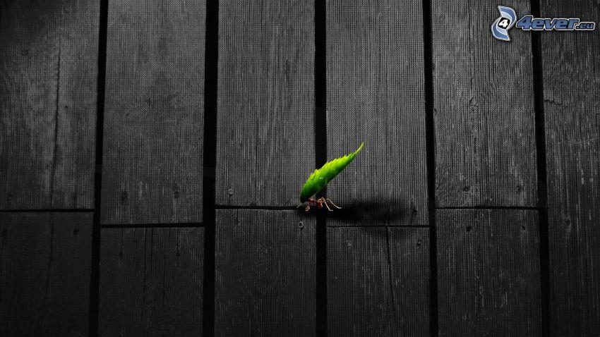 hangya, zöld levél, deszkák