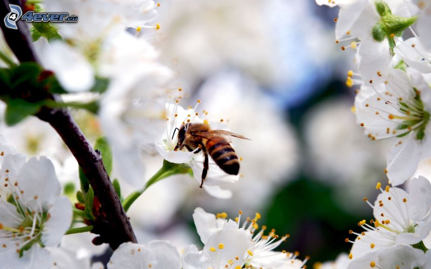 méh, virágzó fa, fehér virágok