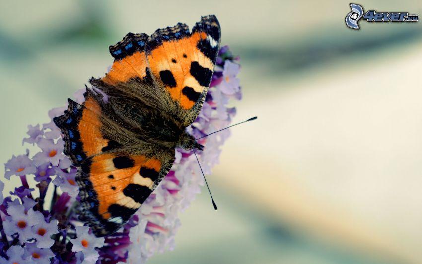 pillangó a virágon, makro
