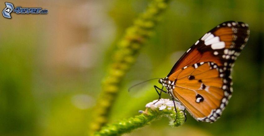 pillangó a virágon