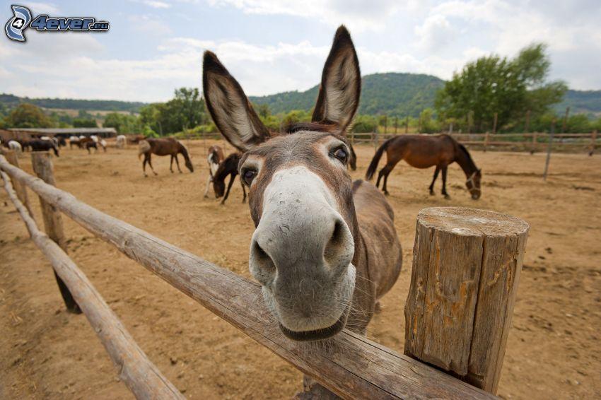 szamár, kerítés, lovak