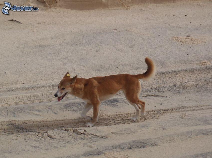 dingó, homok
