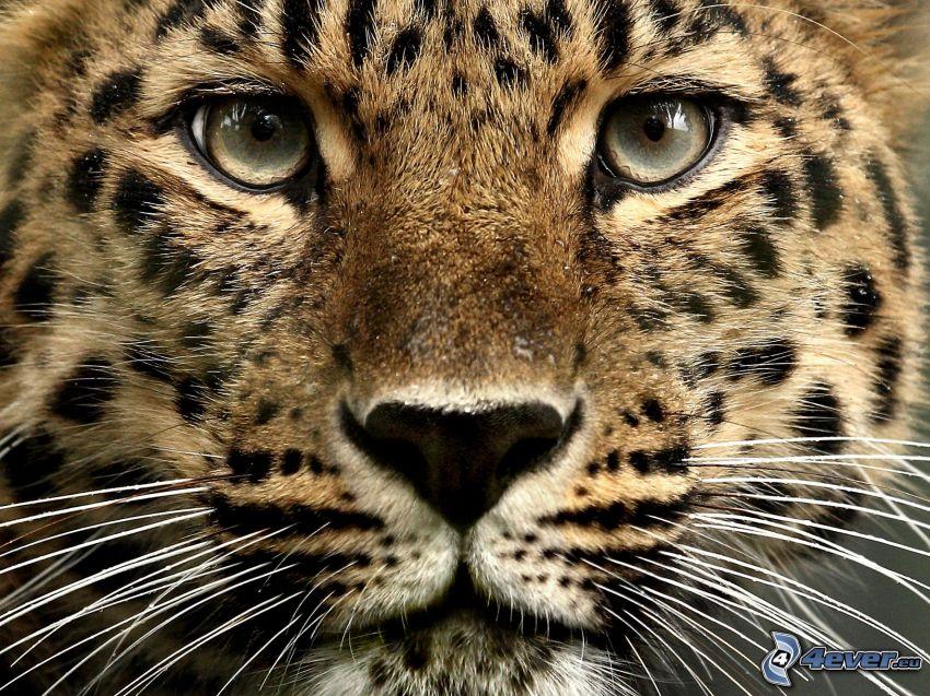 leopárd, arc