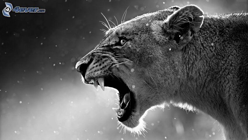 leopárd, ordítás, fekete-fehér kép