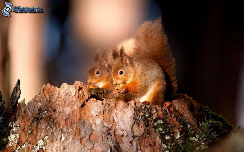 mókusok, dió, fatönk