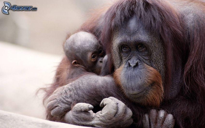 orangutánok, kölyök