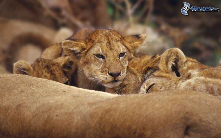 oroszlánkölyök, oroszlánok