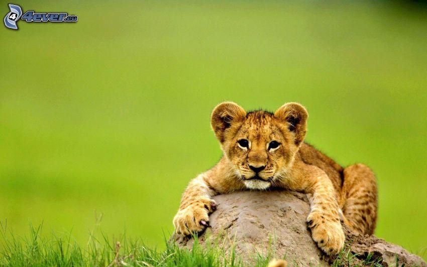 oroszlánkölyök