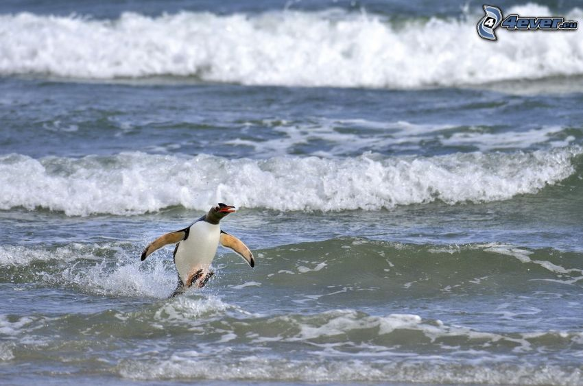 pingvin, hullámok a parton, tenger