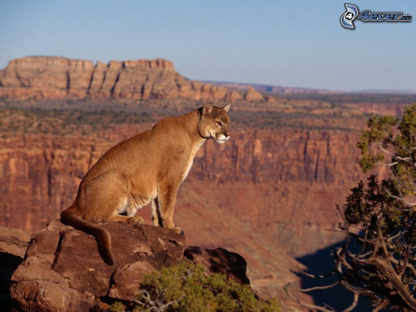 puma, Grand Canyon