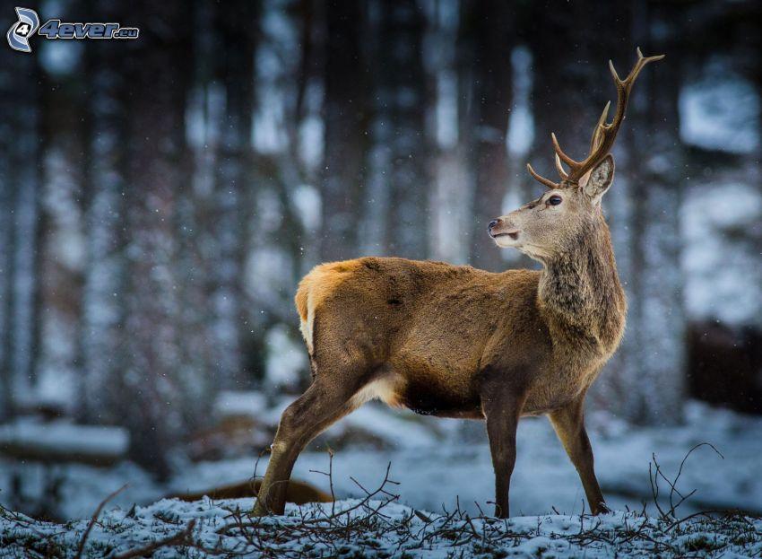 szarvas, havas erdő