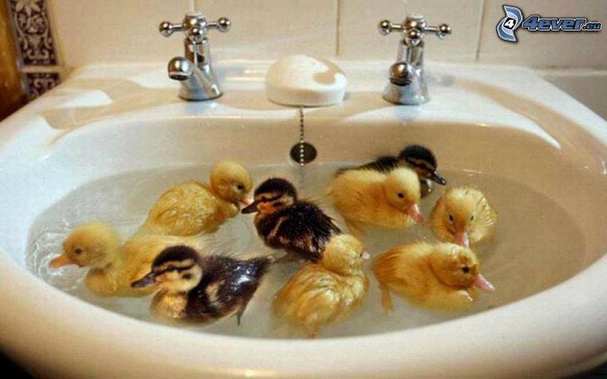 kiskacsák, mosdókagyló, víz