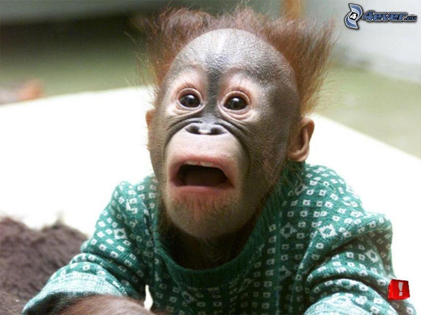 meglepetés, majom