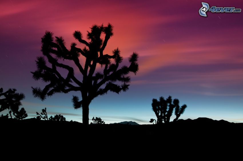 kaktuszok, fa sziluettje