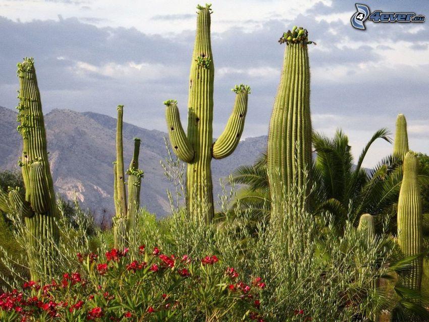 kaktuszok, hegyvonulat