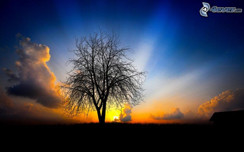 magányos fa, naplemente a réten, napsugarak, fa sziluettje