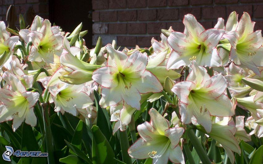 Amaryllis, fehér virágok