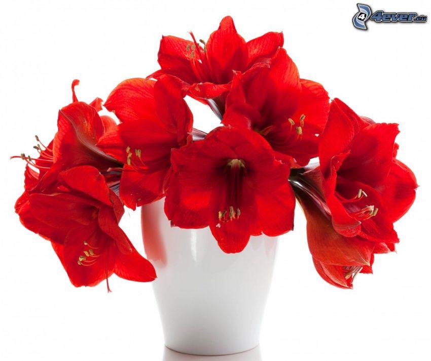 Amaryllis, piros virágok