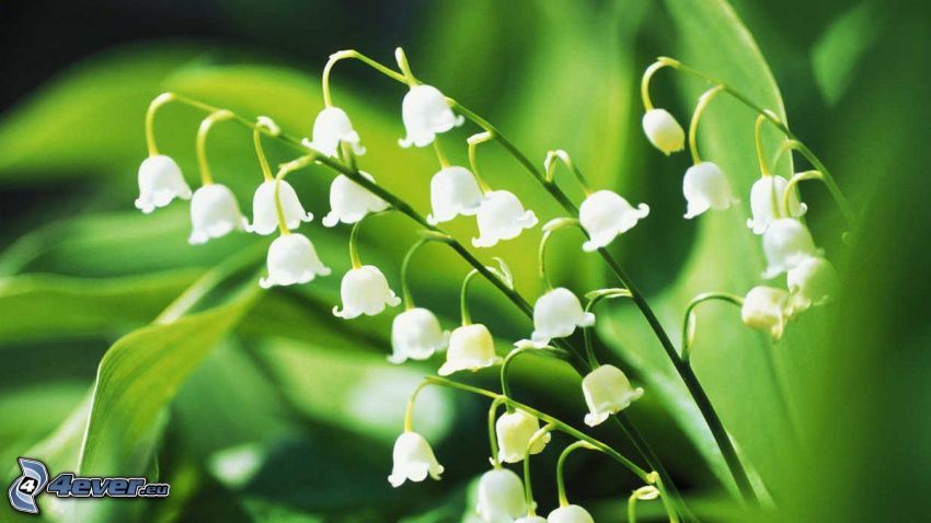 gyöngyvirágok, zöld levelek