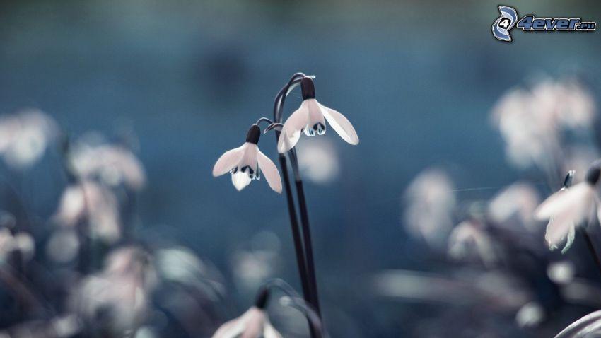 hóvirágok