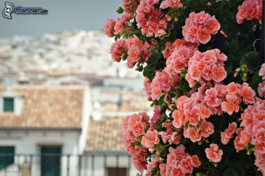 muskátli, narancssárga virágok, házak