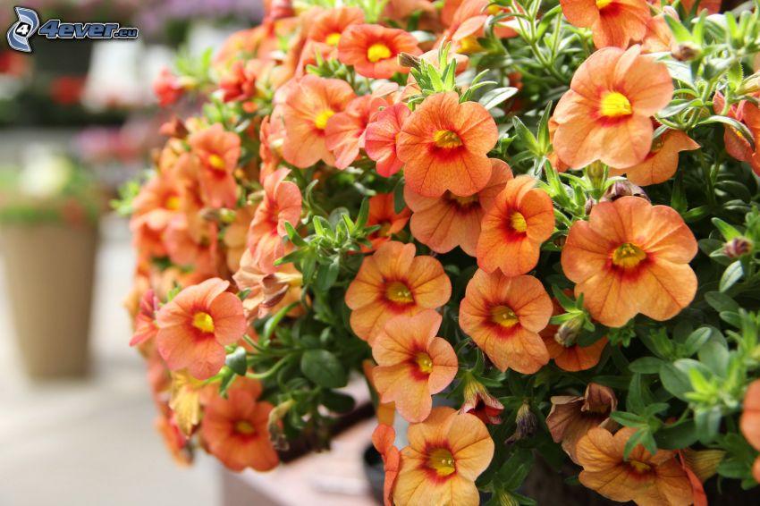 petúnia, narancssárga virágok