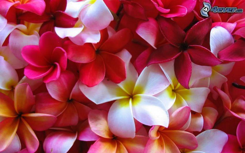 pluméria, fehér virágok, rózsaszín virágok