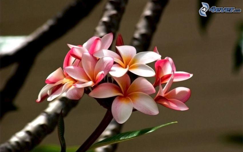 pluméria, rózsaszín virágok, gally