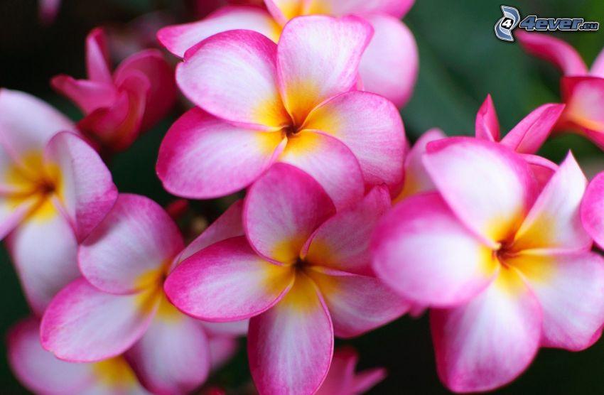 pluméria, rózsaszín virágok
