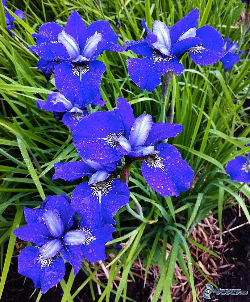 szibériai nőszirom, lila virágok, fű