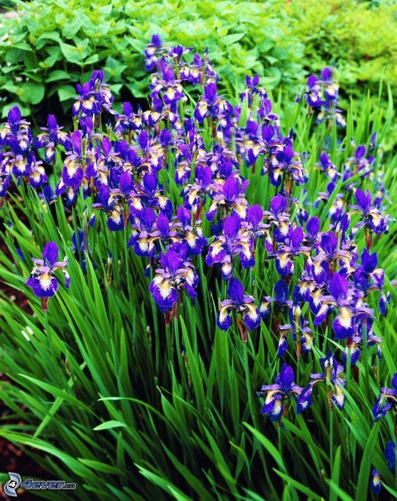 szibériai nőszirom, lila virágok