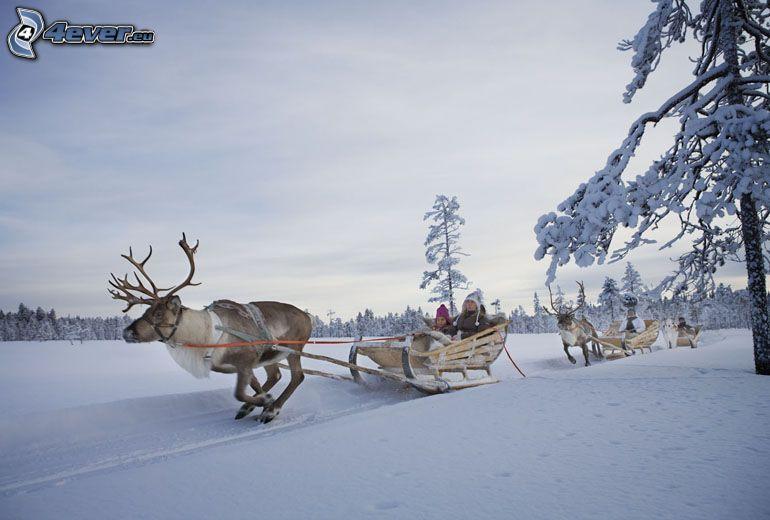 rénszarvasok, szán, havas táj