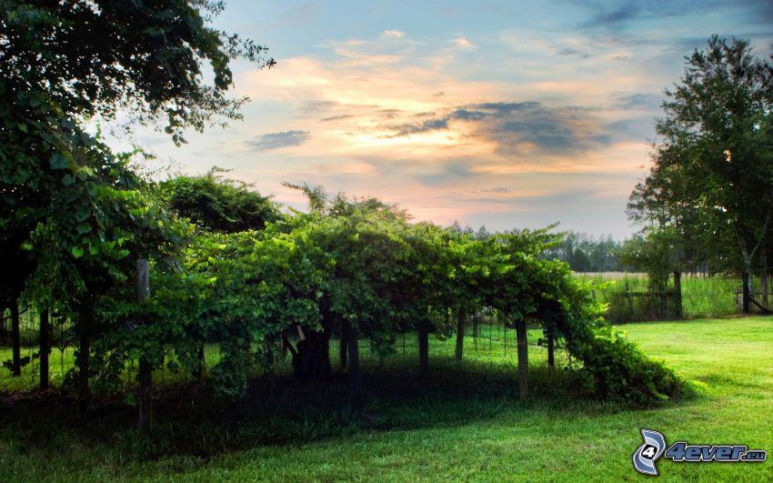 szőlőskert, felhők, fák, HDR