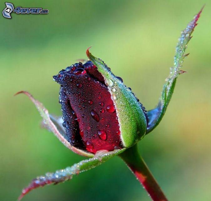 czerwona róża, krople wody
