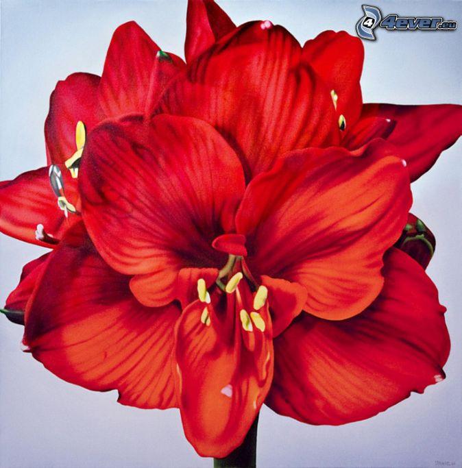 Amarylis, czerwony kwiat
