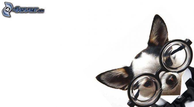 chihuahua, okulary