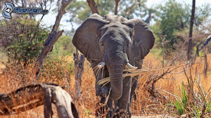 słoń, safari, suche drzewa