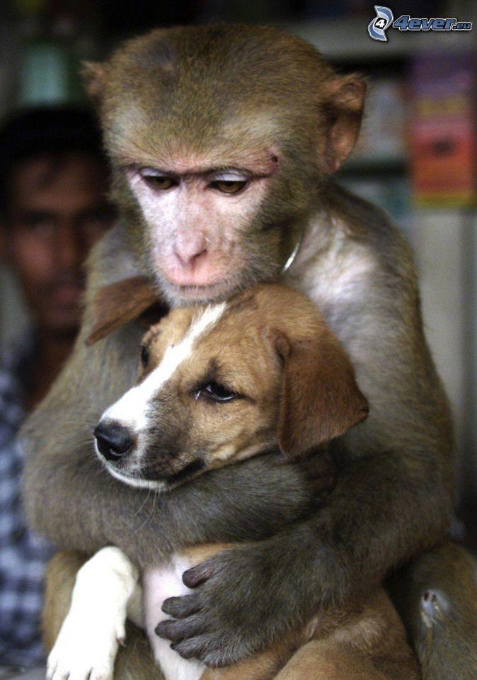 objęcie, małpa, szczeniak beagla