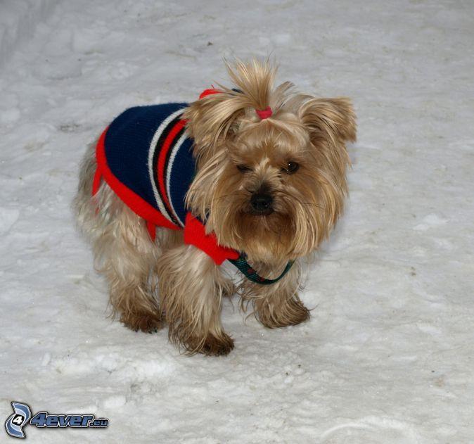Yorkshire Terrier , śnieg Yorkshire Terrier 911