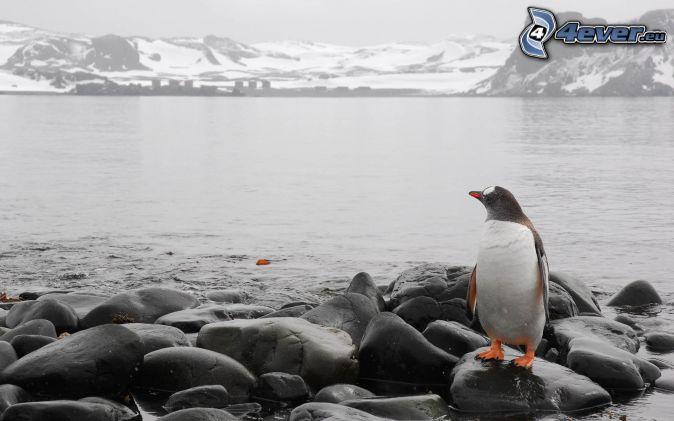 pingwin, kamienie, skaliste wzgórza, śnieg